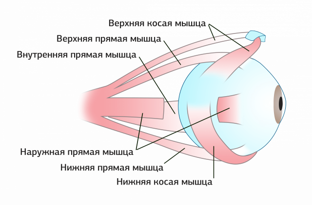 Muscles of the eyeball