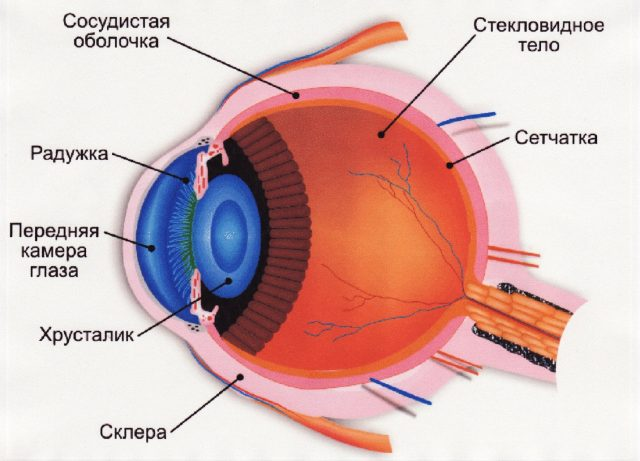 The structure of the eyeball