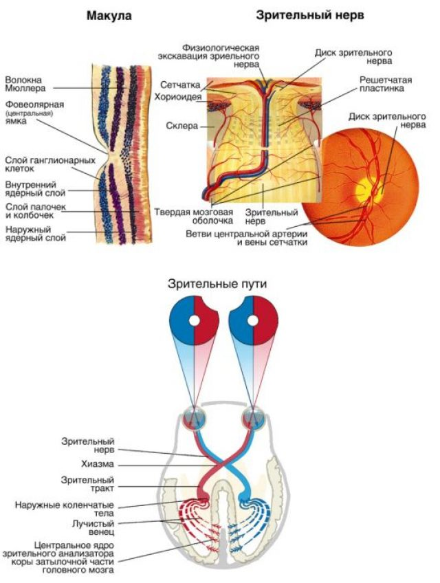 The structure of the optic nerve fibers