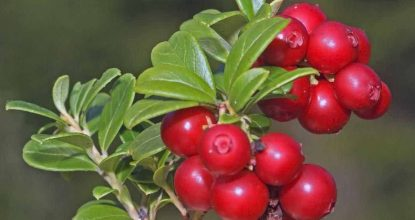 Lingonberry with high and low pressure
