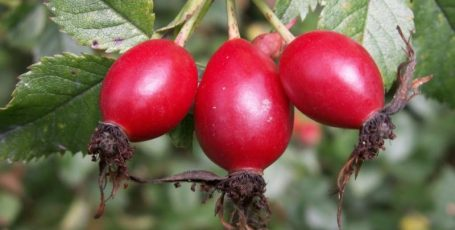 Rosehip: Healing for the Heart and Vessels
